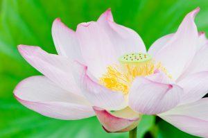 モネの池 蓮 開花