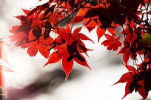 愛知県民の森 紅葉