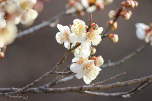羽根木公園 梅まつり 2017