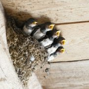 つばめの巣 作らせない