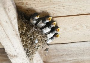 つばめ 巣作り 期間