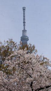 隅田公園 お花見 場所取り