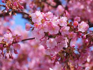 関西 河津桜