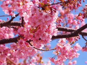 京都 早咲き桜 名所