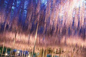 亀戸天神社 藤祭り 2017