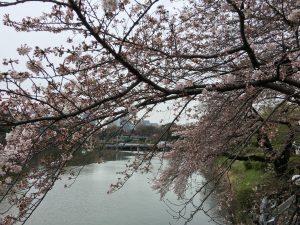 千鳥ヶ淵 桜 ボート