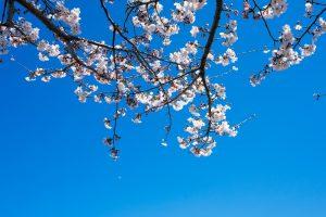 皇居 桜 一般公開