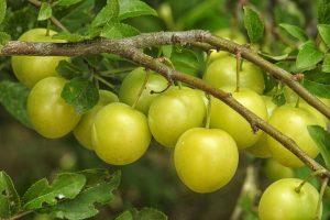 梅シロップ 泡 発酵