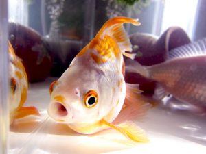 金魚が口を開けてる